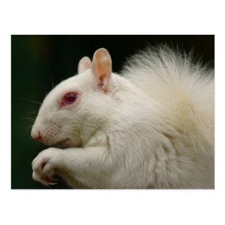 Ardilla del gris del albino postales