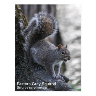 Ardilla gris postales