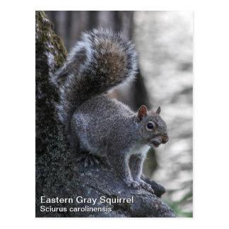 Ardilla gris tarjetas postales