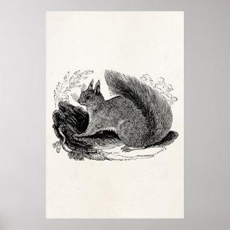 Ardillas europeas de los 1800s de la ardilla del póster