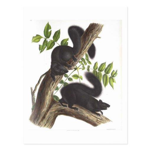 Ardillas negras postales