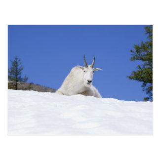 Área del lago Ingalls, cabra de Billy en nieve Postal