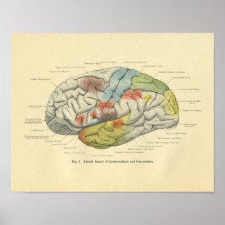 Áreas sensoriales del cerebro anatómico de Frohse Póster