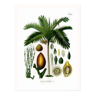 Areca catechu (betel nut palm) postcard