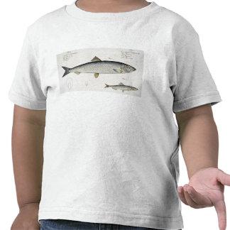 Arenques (Clupea Harengus) (fig. 1) y espadín Camisetas