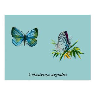 Argiolus de Celastrina (varón) Postales