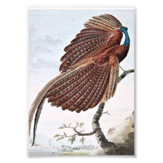 Argus Pheasant Bird Painting Photograph