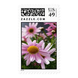Argyranthemum frutescens Marguerite Daisies Postage