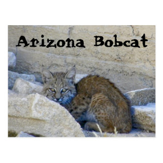 Arizona Bobcat Postcard