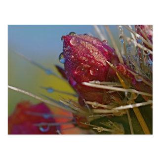 Arizona Cactus Blooms  Raindrops  Photo Postcard