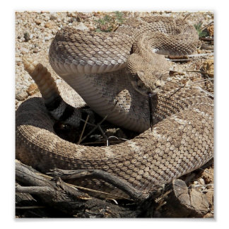 Arizona Diamondback Rattlesnake Poster