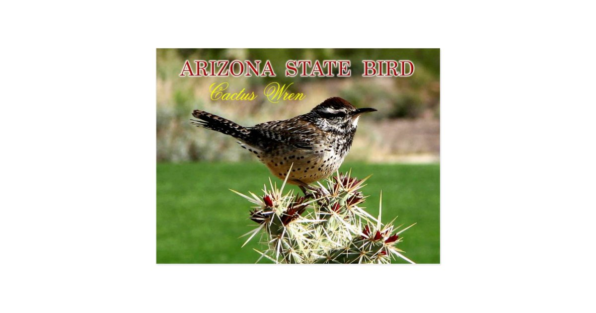 arizona state bird cactus wren postcard