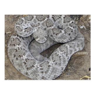 Arizona Western Diamondback Rattlesnake Post Card