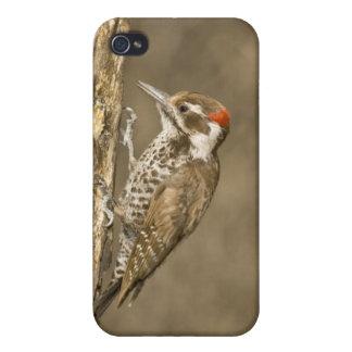 Arizona Woodpecker, Dendrocopos arizonae, South iPhone 4 Cover