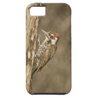 Arizona Woodpecker, Dendrocopos arizonae, South iPhone 5 Cover