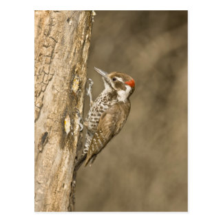 Arizona Woodpecker, Dendrocopos arizonae, South Postcard