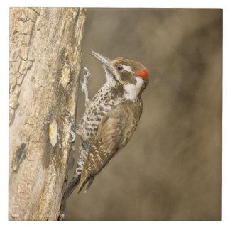 Arizona Woodpecker, Dendrocopos arizonae, South Tile