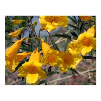 Arizona Yellow Bells Postcard