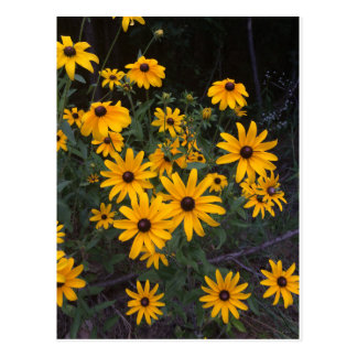 Arkansas Wildflower Black-Eyed Susans Postcard