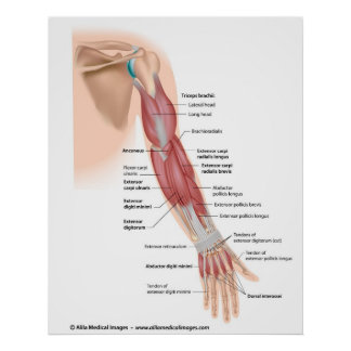 Arm muscles posterior view, labeled drawing. poster
