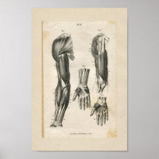 Arm Muscles Vintage Anatomy Print