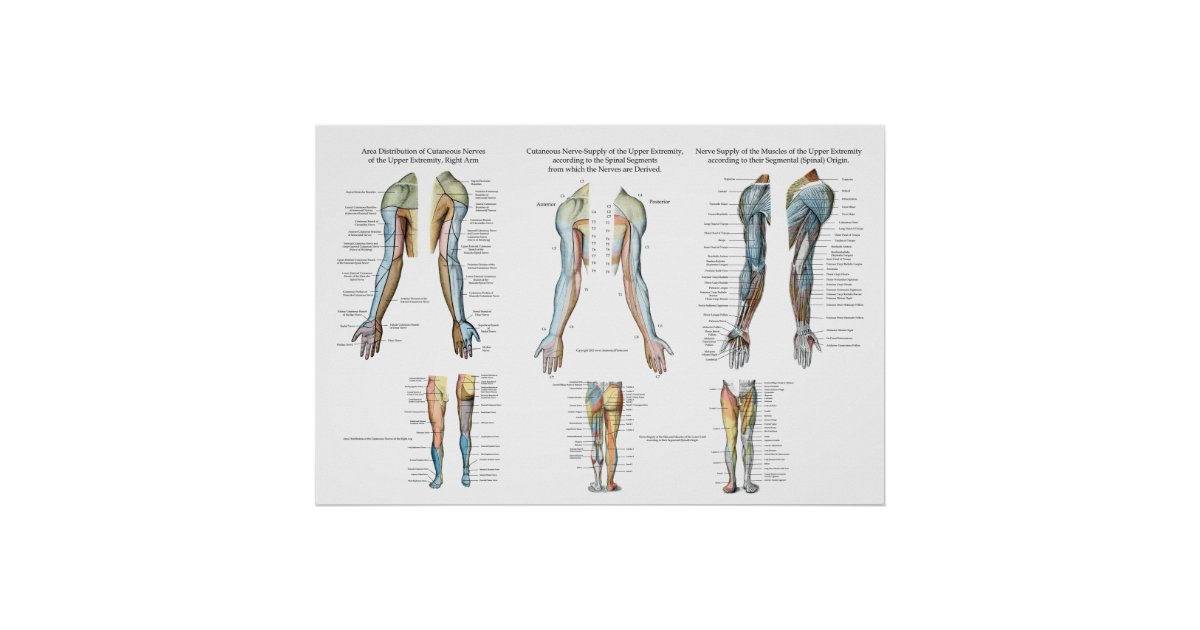 Arm Nerve Innervation Of Upper Extremities Poster Zazzle