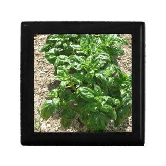Array of basil plants gift box