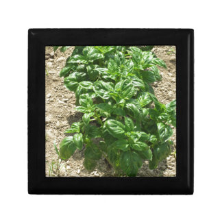 Array of basil plants gift box