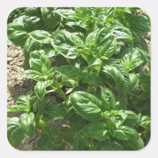Array of basil plants square sticker
