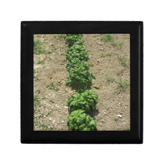 Array of basil varieties keepsake box