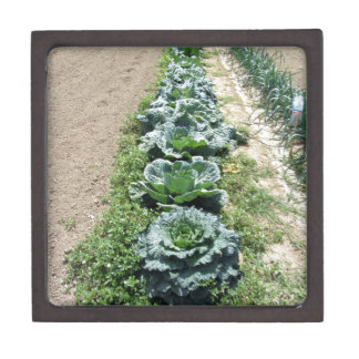 Arrays of cabbages and onions gift box