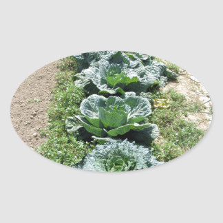 Arrays of cabbages and onions oval sticker