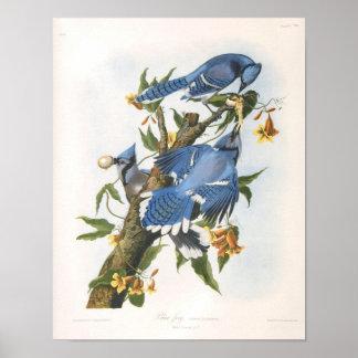 Arrendajo azul, bella arte de John James Audubon Póster