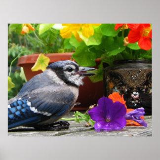 Arrendajo azul con las flores póster