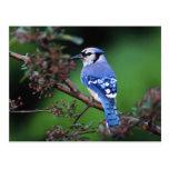 Arrendajo azul, cristata 2 de Cyaoncitta Tarjeta Postal