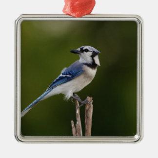 Arrendajo azul cristata de Cyaoncitta Ornamento De Navidad