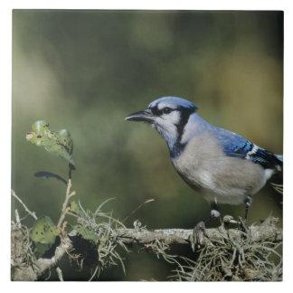 Arrendajo azul, cristata del Cyanocitta, adulto, S Azulejo Cuadrado Grande