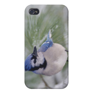 Arrendajo azul, cristata del Cyanocitta iPhone 4 Carcasa