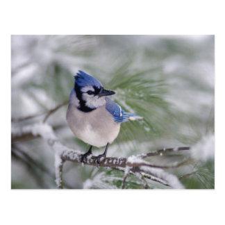 Arrendajo azul, cristata del Cyanocitta Postal