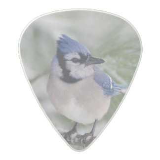 Arrendajo azul, cristata del Cyanocitta Púa De Guitarra Acetal