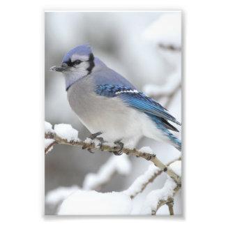 Arrendajo azul del invierno fotografía