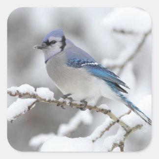 Arrendajo azul del invierno pegatina cuadrada