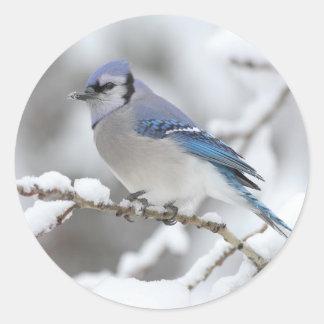 Arrendajo azul del invierno pegatina redonda
