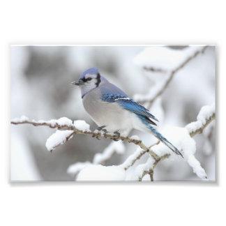Arrendajo azul del invierno impresiones fotograficas