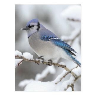 Arrendajo azul del invierno postal