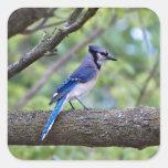 Arrendajo azul del verano calcomania cuadradas personalizada