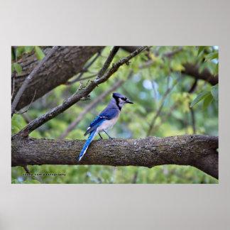 Arrendajo azul del verano póster
