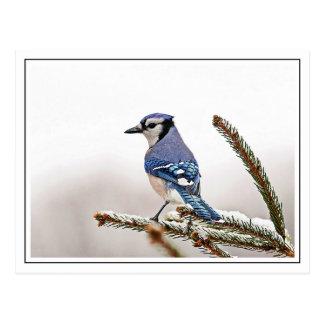 Arrendajo azul en invierno postal