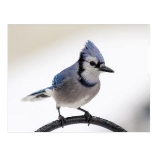 Arrendajo azul en invierno postales