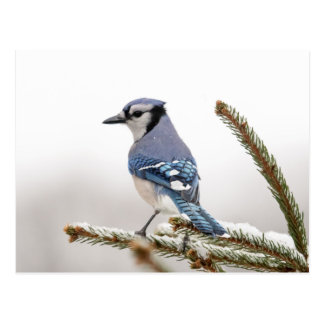 Arrendajo azul en invierno tarjetas postales